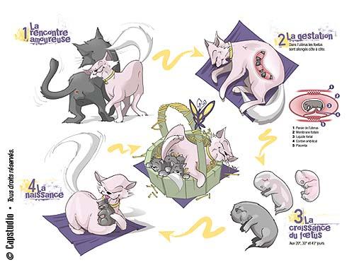 comprendre-la-gestation-de_la chatte chatterie la perle des anges ragdoll normandie calvados 1