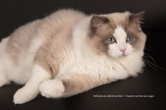 nirvana du jardin de dolly saillie chatterie la perle des anges ragdoll normandie caen calvados 1