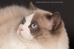 nirvana du jardin de dolly saillie chatterie la perle des anges ragdoll normandie caen calvados 2