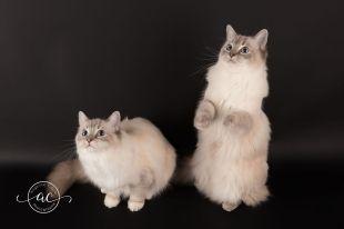 la perle des anges chaton ragdoll normandie caen calvados osmose et olympe du reve a madilane nirvana du jardin de dolly ollywood 1