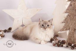 la perle des anges chaton ragdoll normandie caen calvados osmose et olympe du reve a madilane nirvana du jardin de dolly ollywood 10