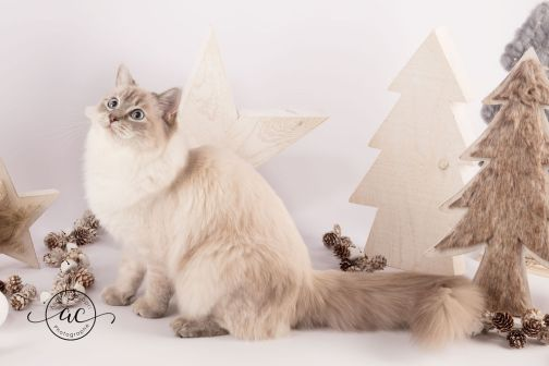 la perle des anges chaton ragdoll normandie caen calvados osmose et olympe du reve a madilane nirvana du jardin de dolly ollywood 13