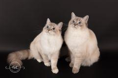 la perle des anges chaton ragdoll normandie caen calvados osmose et olympe du reve a madilane nirvana du jardin de dolly ollywood 2