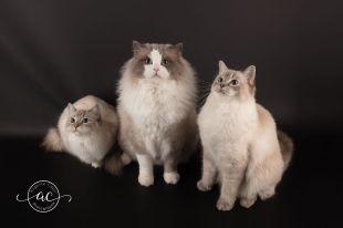 la perle des anges chaton ragdoll normandie caen calvados osmose et olympe du reve a madilane nirvana du jardin de dolly ollywood 3