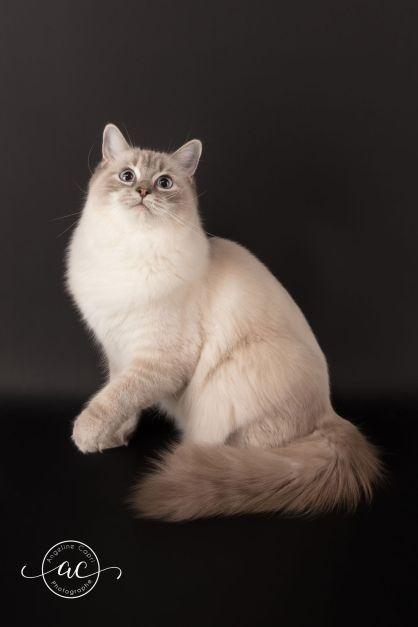 la perle des anges chaton ragdoll normandie caen calvados osmose et olympe du reve a madilane nirvana du jardin de dolly ollywood 4