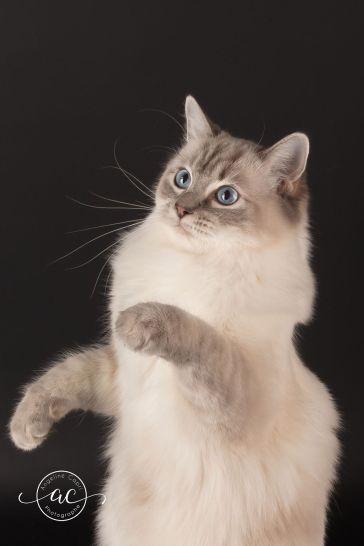 la perle des anges chaton ragdoll normandie caen calvados osmose et olympe du reve a madilane nirvana du jardin de dolly ollywood 6