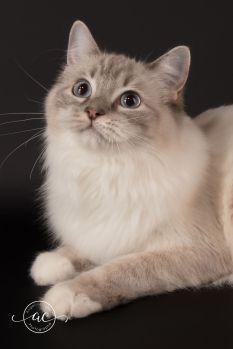 la perle des anges chaton ragdoll normandie caen calvados osmose et olympe du reve a madilane nirvana du jardin de dolly ollywood 8