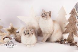 la perle des anges chaton ragdoll normandie caen calvados osmose et olympe du reve a madilane nirvana du jardin de dolly ollywood 9