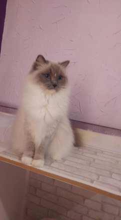 ollywood la perle des anges ragdoll normandie caen calvados chatons osmose et olympe du reve a madilane joyce de timadao nirvana du jardin de dolly 5
