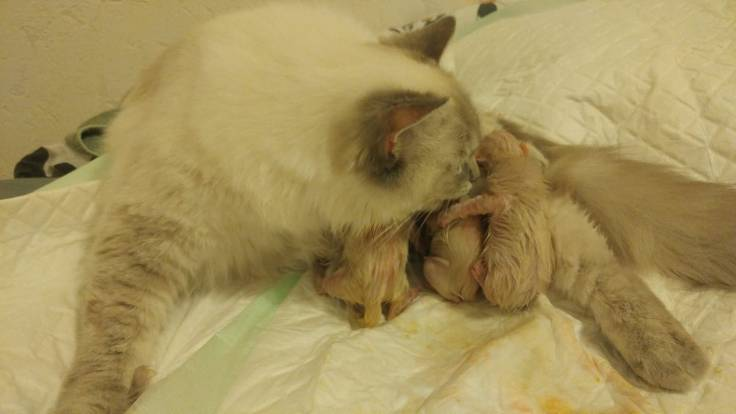 chatons chatterie la perle des anges ragdoll normandie calvados caen 5