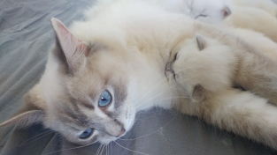 20190316_132254_chatons chatterie la perle des anges ragdoll normandie calvados caen 49