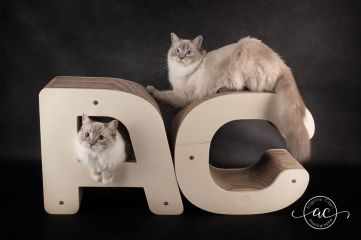 osmose et olympe du reve a madilane chatterie la perle des anges ragdoll noramndie caen calvados chatons 1