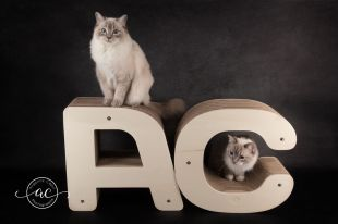 osmose et olympe du reve a madilane chatterie la perle des anges ragdoll noramndie caen calvados chatons 2
