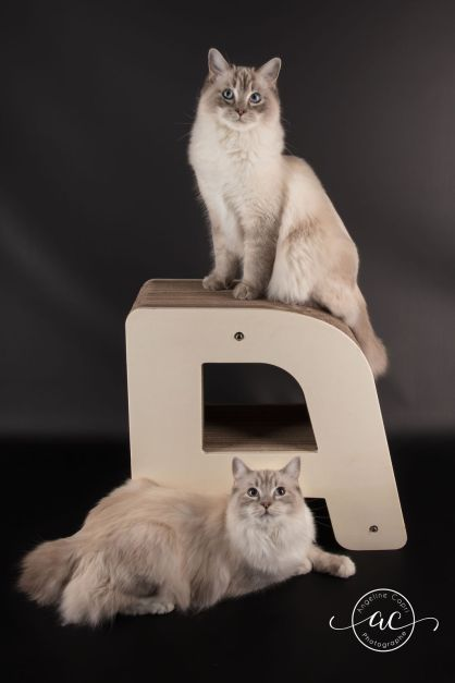 osmose et olympe du reve a madilane chatterie la perle des anges ragdoll noramndie caen calvados chatons 3