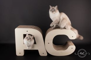 osmose et olympe du reve a madilane chatterie la perle des anges ragdoll noramndie caen calvados chatons 4