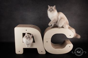 osmose et olympe du reve a madilane chatterie la perle des anges ragdoll noramndie caen calvados chatons 5