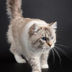 OLLYWOOD le perle des anges ragdoll normandie caen calvados chaton chatterie laperle des anges 1
