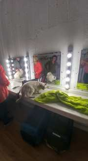 casting shooting photo chaton chat ragdoll chatterie la perle des anges ragdoll normandie caen calvados 18