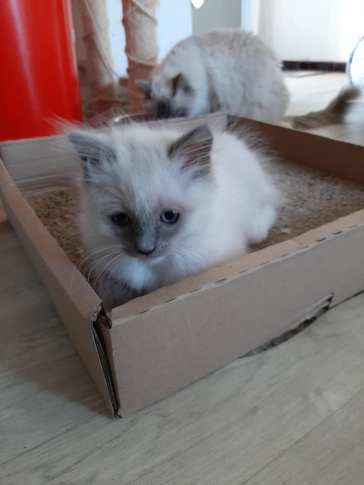 chatons chatterie la perle des anges ragdoll normandie calvados caen 1