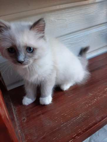 chatons chatterie la perle des anges ragdoll normandie calvados caen 2
