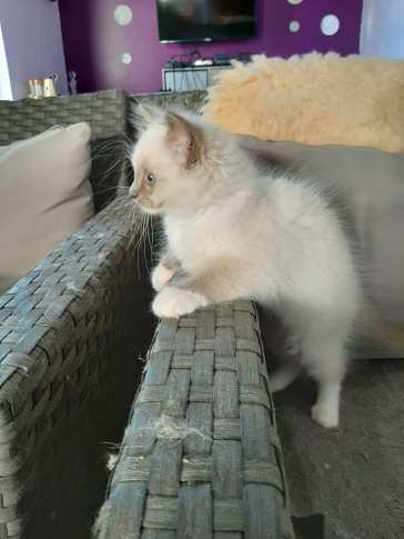 chatons chatterie la perle des anges ragdoll normandie calvados caen 3