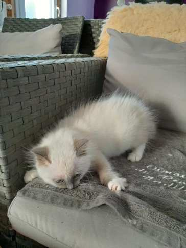chatons chatterie la perle des anges ragdoll normandie calvados caen 4