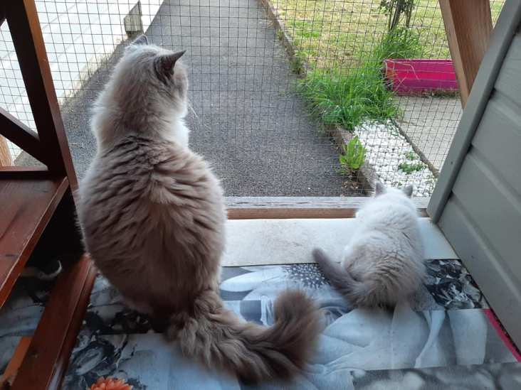 chatons chatterie la perle des anges ragdoll normandie calvados caen 8