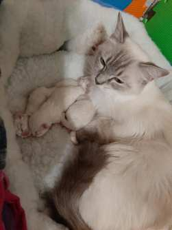 chatterie la perle des anges chatons a adopter ragdoll normandie caen calvados 5