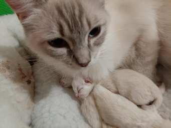 chatterie la perle des anges chatons a adopter ragdoll normandie caen calvados 8