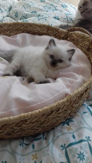 chaton chatterie la perle des anges ragdoll normandie calvados caen 14