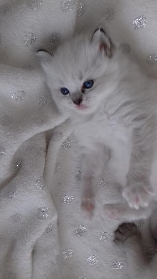 chaton chatterie la perle des anges ragdoll normandie calvados caen 15