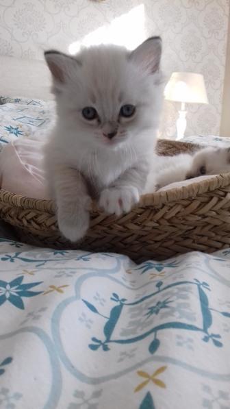 chaton chatterie la perle des anges ragdoll normandie calvados caen 16