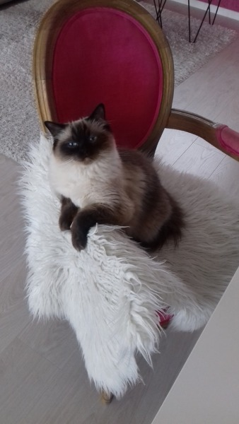 chaton chatterie la perle des anges ragdoll normandie calvados caen 18