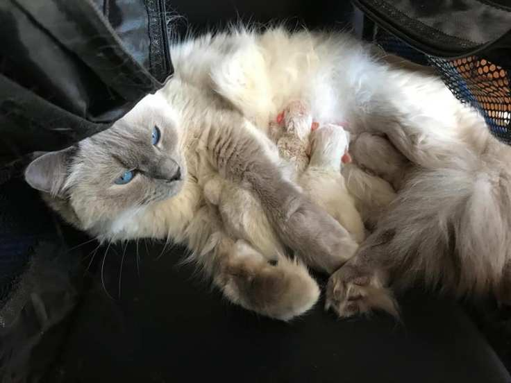 chaton a adopter chatterie la perle des anges ragdoll normandie caen calvados 1