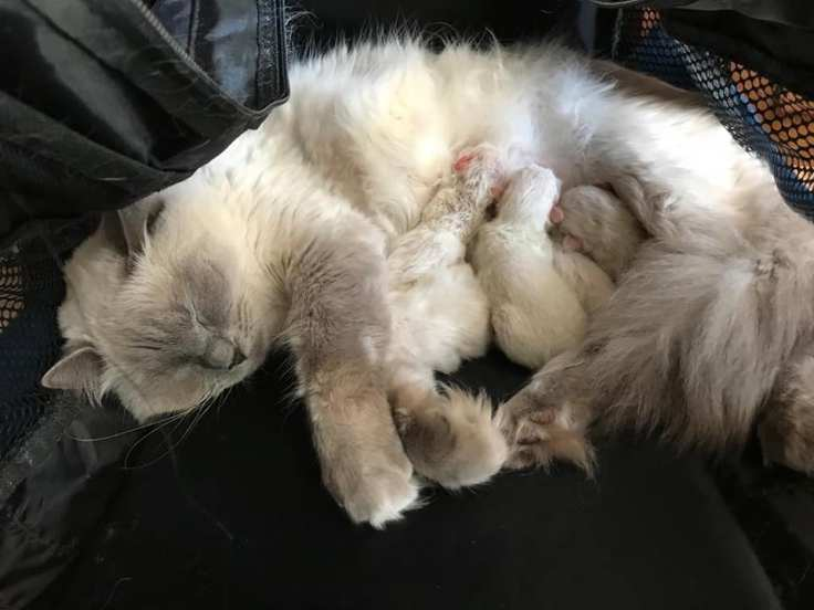 chaton a adopter chatterie la perle des anges ragdoll normandie caen calvados 2