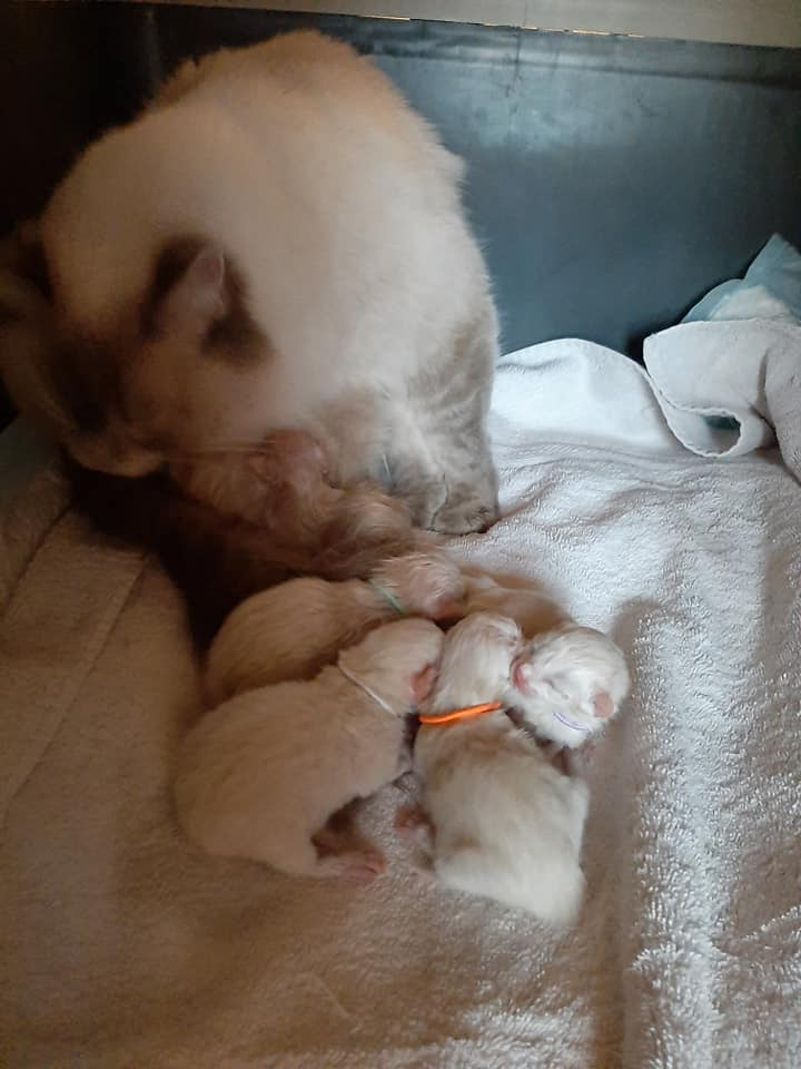 chatterie la perle des anges ragdoll normandie caen calvados chatons6
