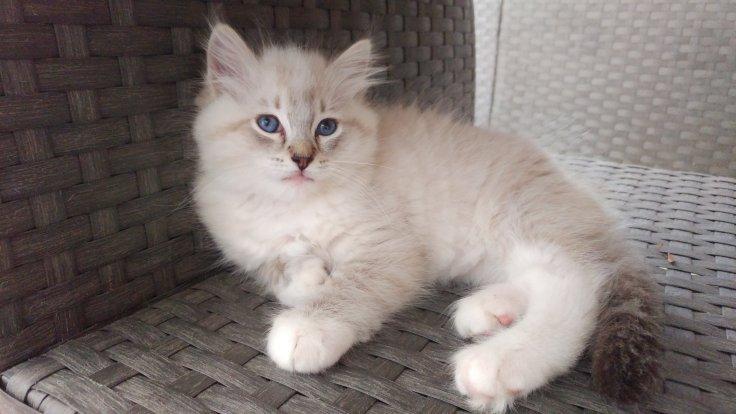 ollywood la perle des anges ragdoll chaton normandie caen calvados 3