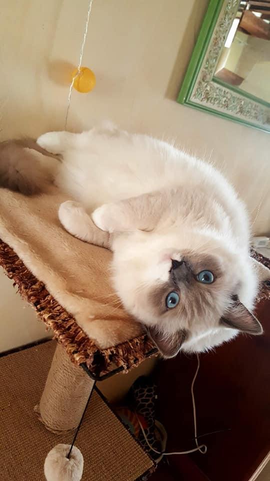 pandora la perle des anges ragdoll chaton normandie caen calvados 4