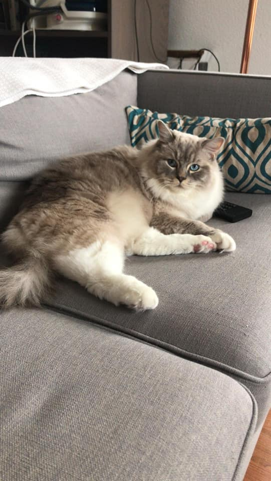 picasso la perle des anges ragdoll chaton normandie caen calvados 7