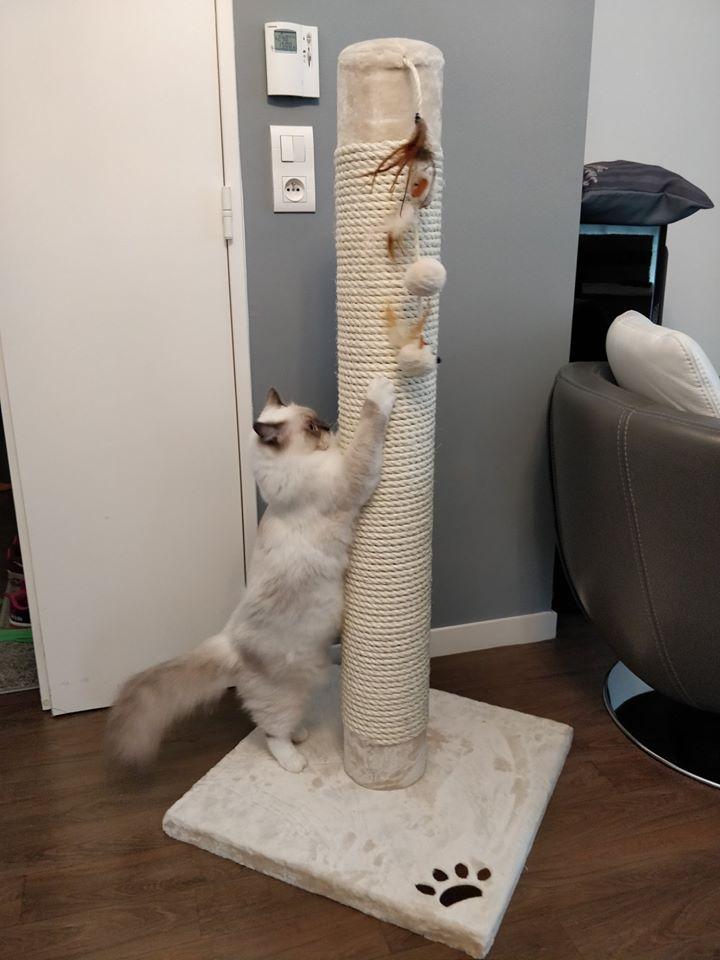 pixy la perle des anges ragdoll chaton normandie caen calvados 3