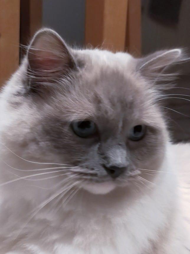 pythagore la perle des anges ragdoll chaton normandie caen calvados 1