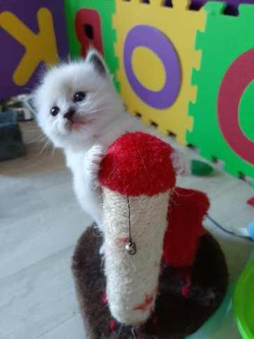 ramses la perle des anges ragdoll chaton normandie caen calvados 4
