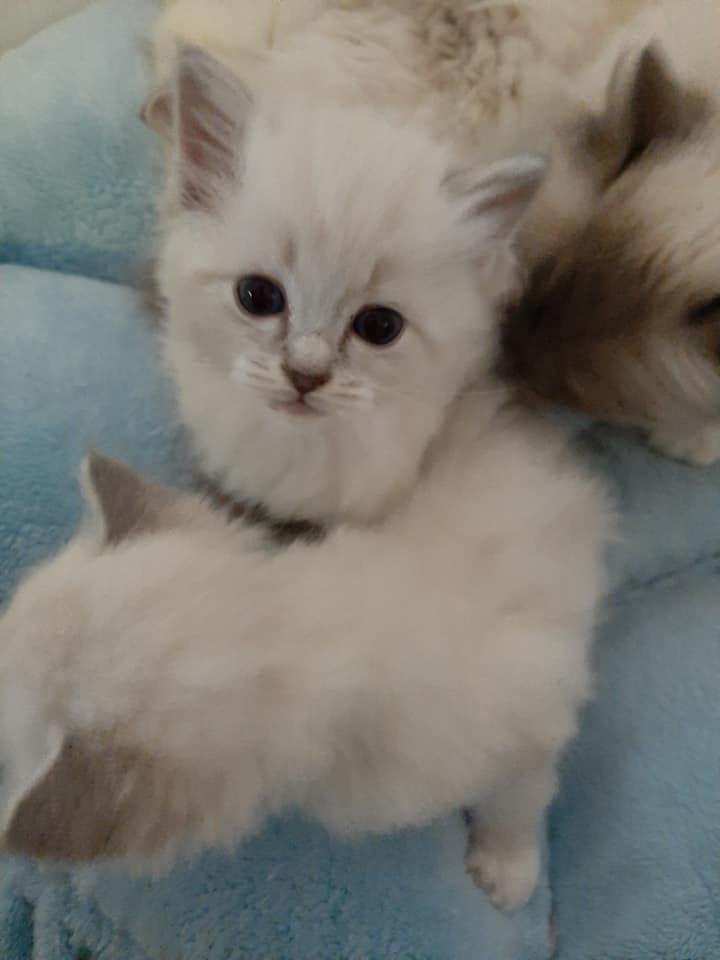 Réglisse la perle des anges chatons ragdoll normandie caen calvados 6