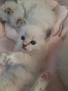 romulus la perle des anges radgoll chaton normandie caen calvados 3