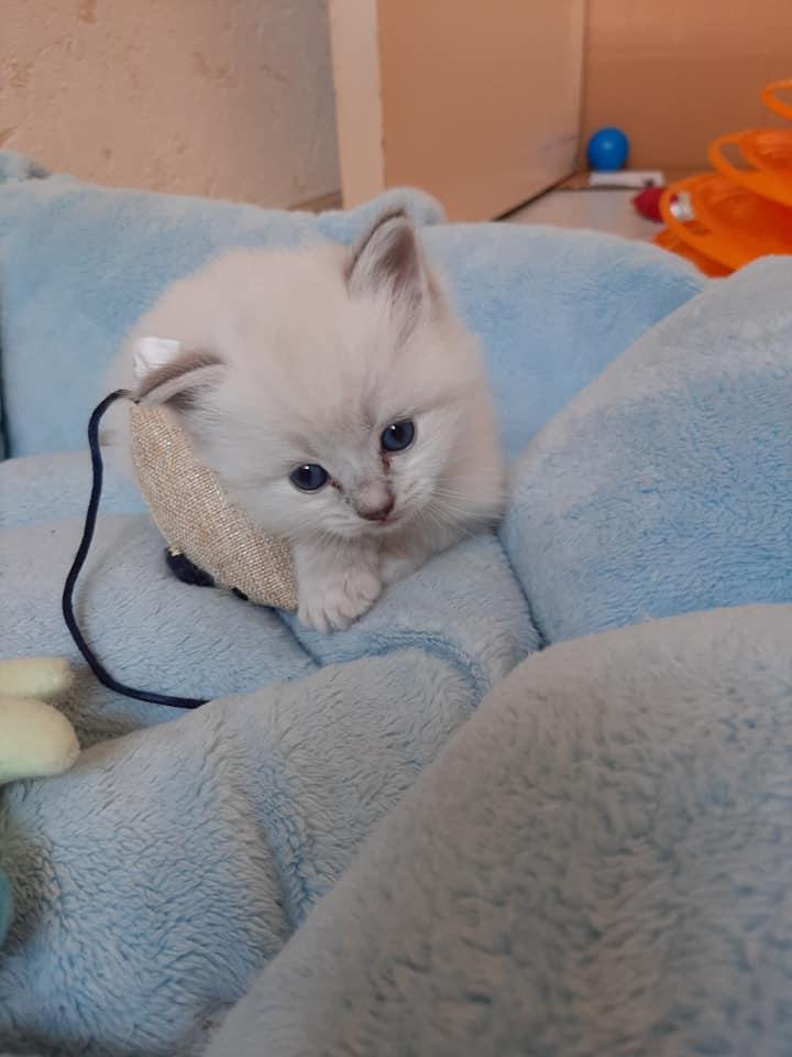 rosette la perle des anges radgoll chaton normandie caen calvados 5