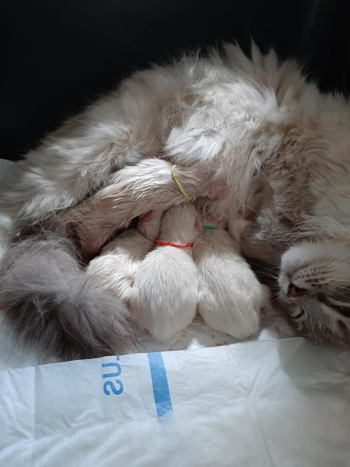 chatons chatterie la perle des anges ragdoll normandie calvados caen 101
