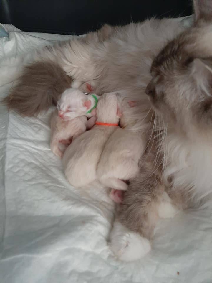 chatons chatterie la perle des anges ragdoll normandie calvados caen 102