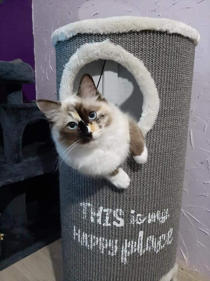 chatterie la perle des anges ragdoll normandie caen calvados chatons100