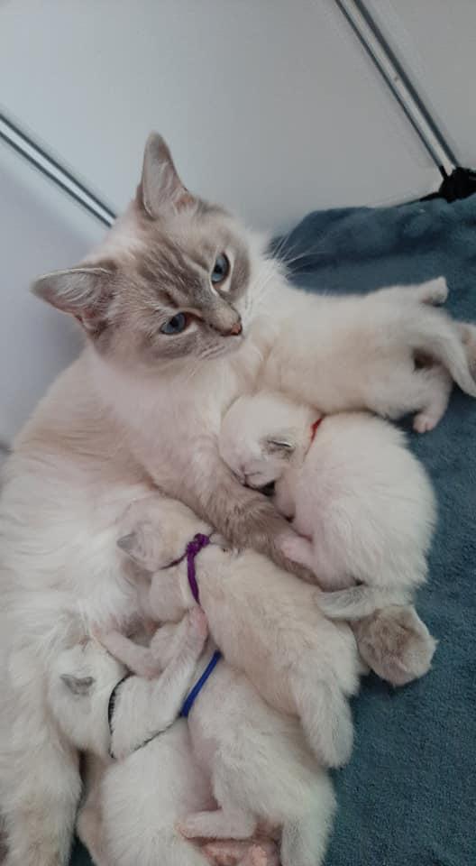 chatons chatterie la perle des anges ragdoll normandie calvados caen cormelles 2